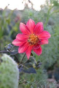 Närbild på en rosa dahlia som är frusen.