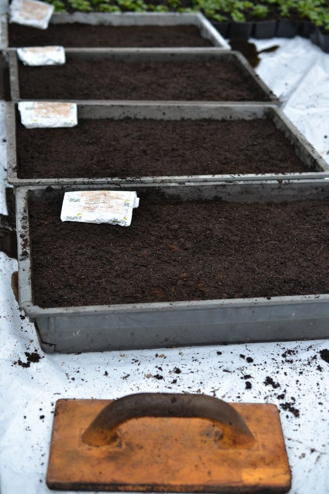 Broadcast seeding cabbage in four troughs filled with soil.