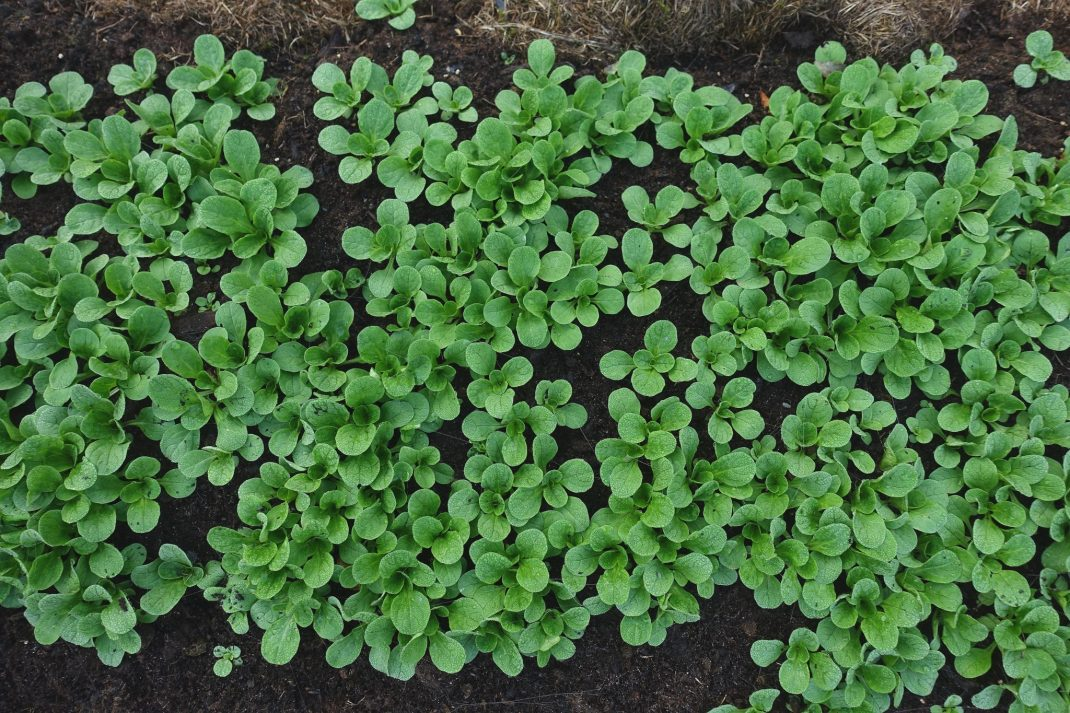 Grow lamb's lettuce, plenty of green plants from above.