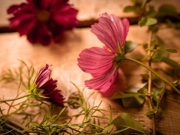 Närbild på rosaröd blomma underifrån