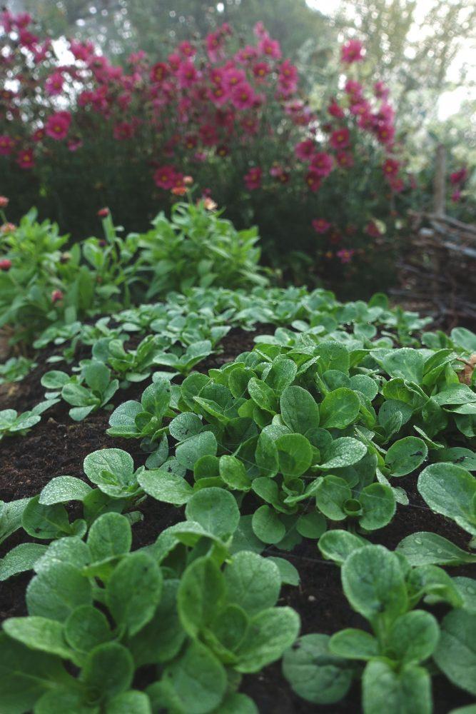 Grow lamb's lettuce, close-up of lamb's lettuce.