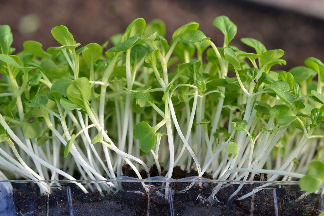 Ett genomskinligt tråg med jord och gröna blad med vita stjälkar.