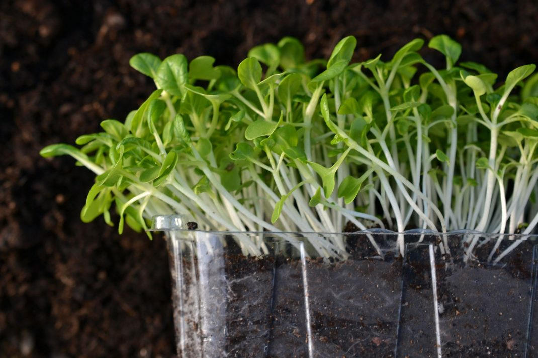 A trough filled with soil and microgreens with white stalks.
