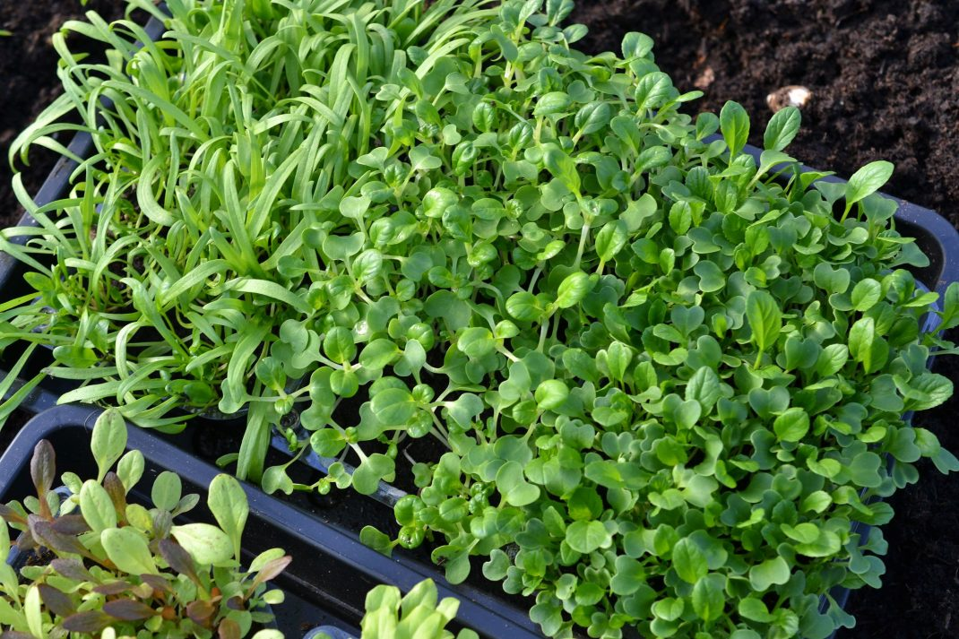 Plenty of microgreens in the trough.