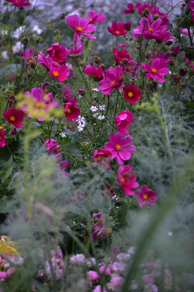 Beautiful bright pink flowers in the flower garden.