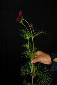 Rosenskära med bladverk
