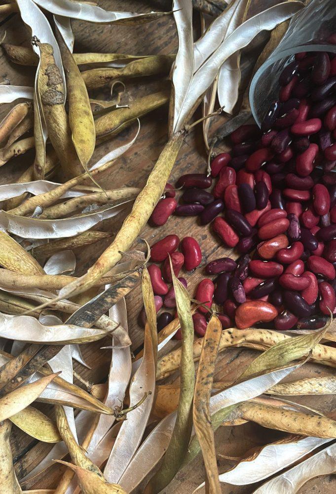 Bean harvest of red beans.