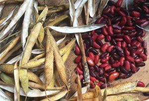 Röda bönor i en hög med beiga skal runt omkring.