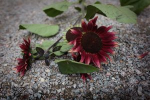 Röda solroser som snittblommor