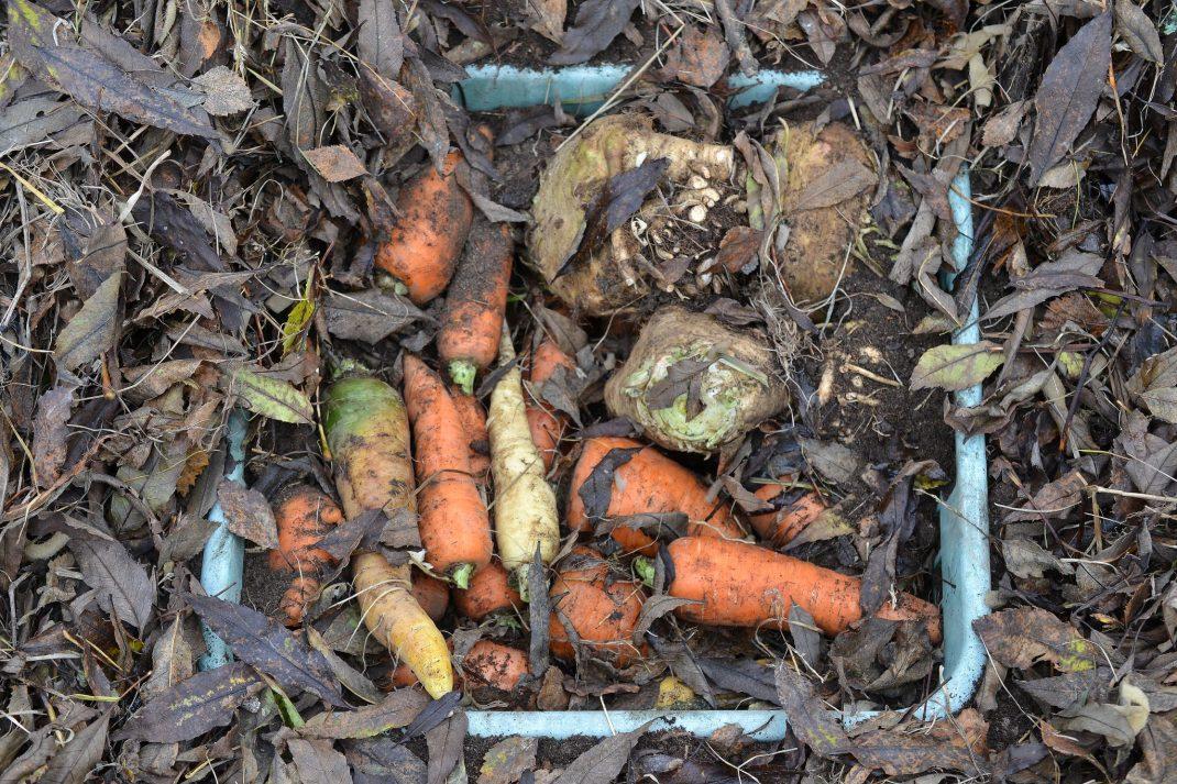 En back med morötter blandat med löv, nergrävd i jorden.