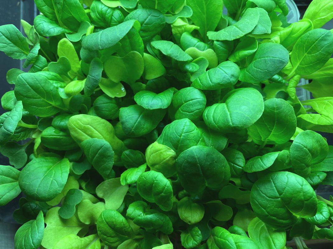 Små gröna blad som växer tätt.