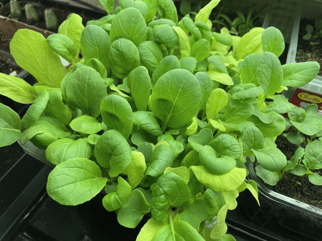 Close-up of fast growing vegetables.