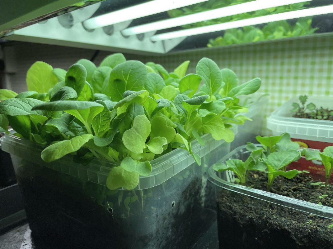fast-growing vegetables.