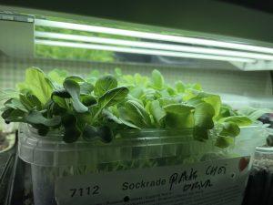 Gröna blad i en sålåda under växtbelysning.