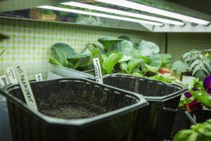 Sådder under växtbelysning.