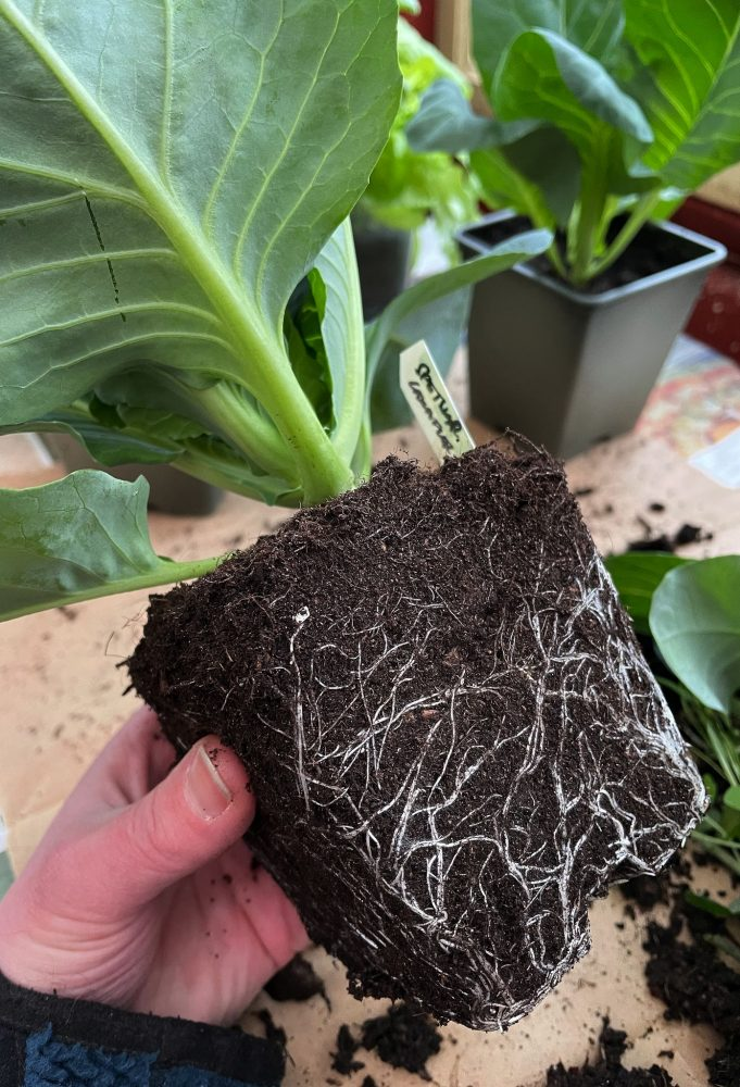 A hand holding a cabbage plant, getting ready to transplant cabbage.