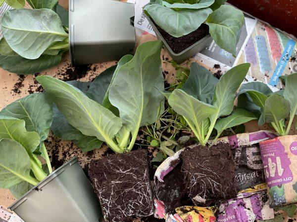 Kålplantor utspridda på tidningspapper.