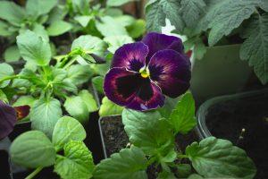 En lila pensé under växtbelysning inomhus.