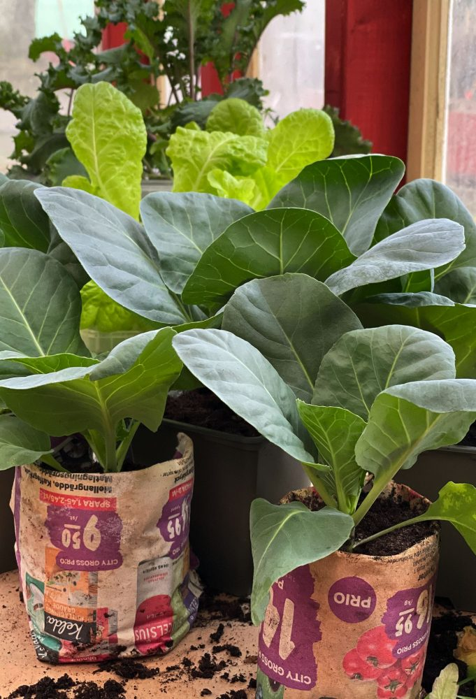 Cabbage plants next to each other.