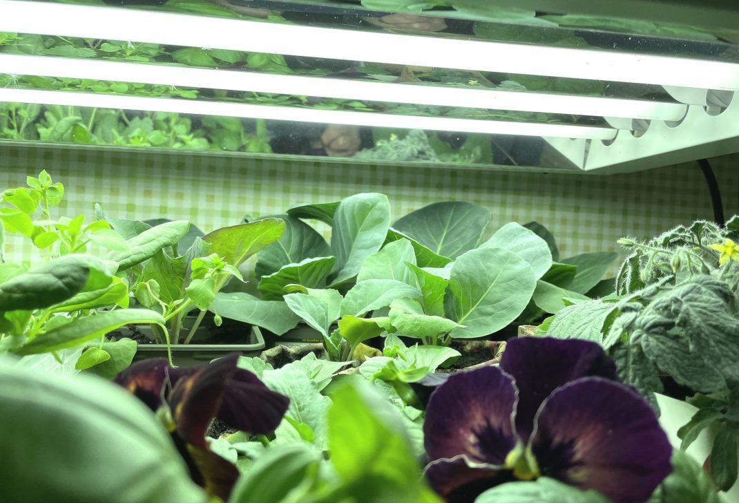 Green plants under a diy grow light.