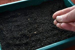 En bytta med svart jord och fröer som strösslas ut.