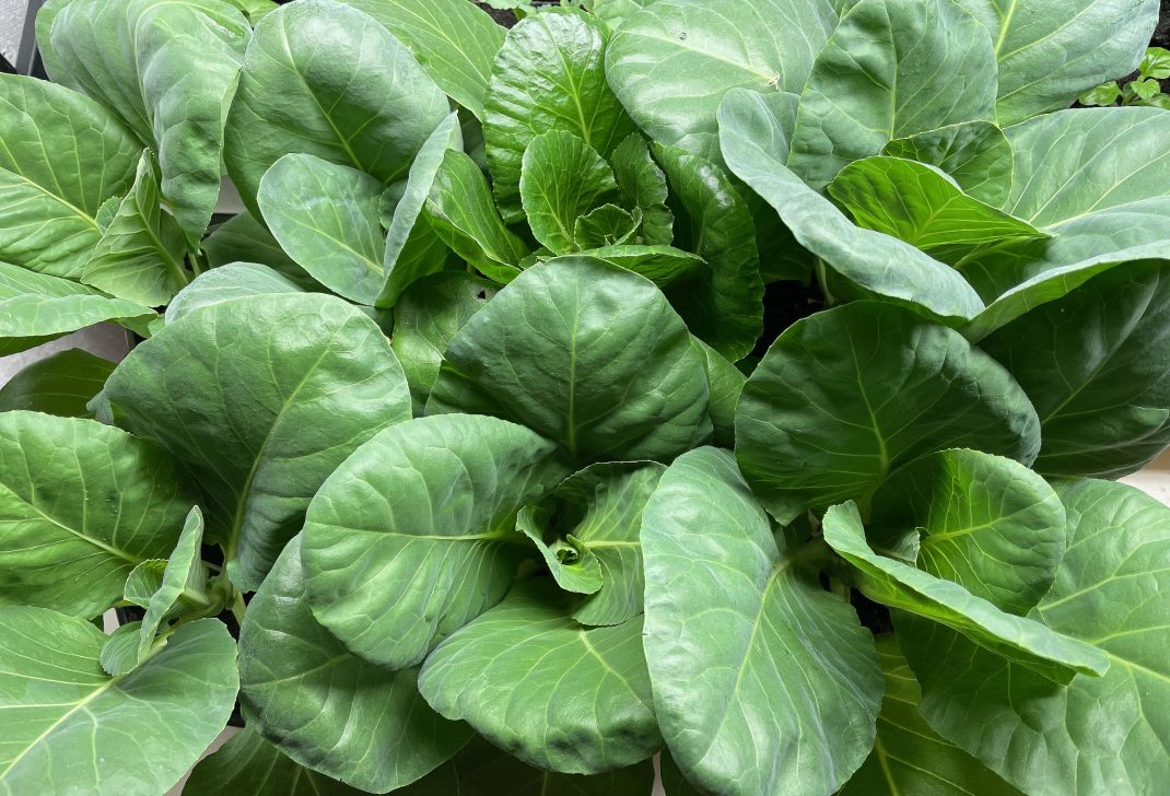 Close-up of cabbage plants.