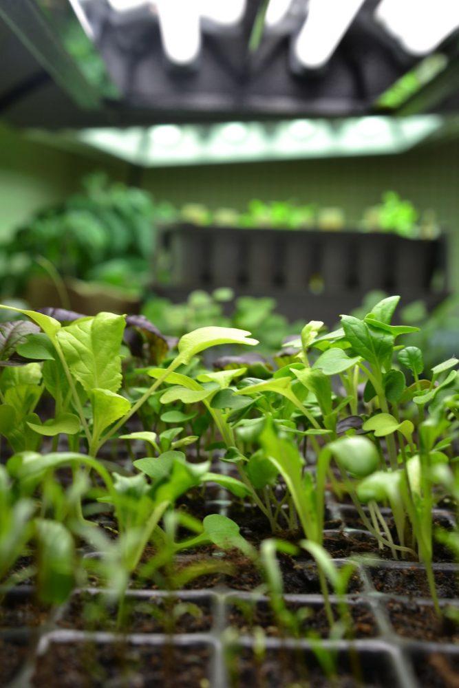 Little green plants under a grow light.