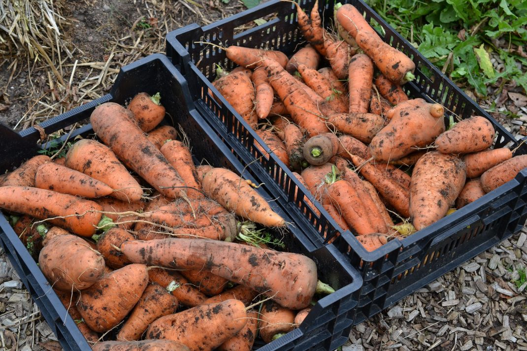 winter carrots in crates.