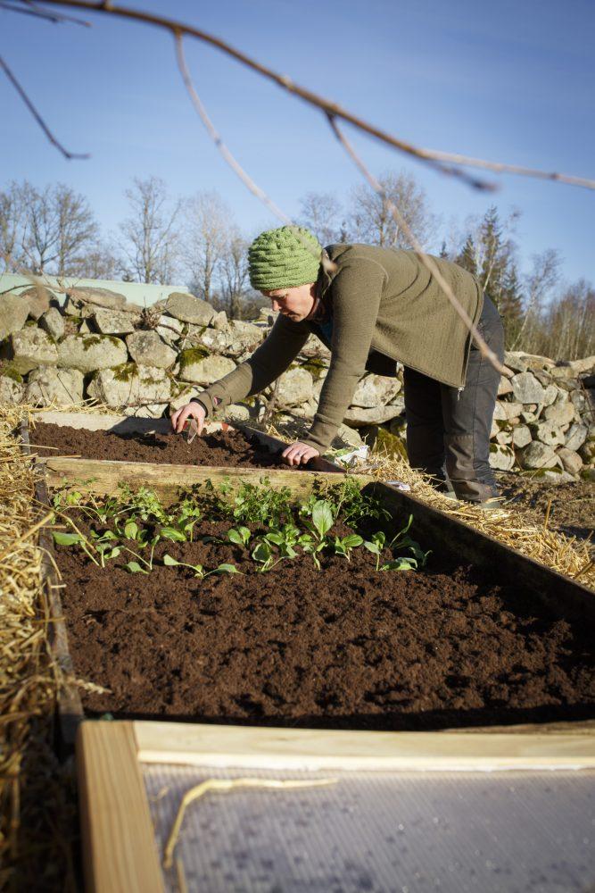 Sara planterar i varmbänk